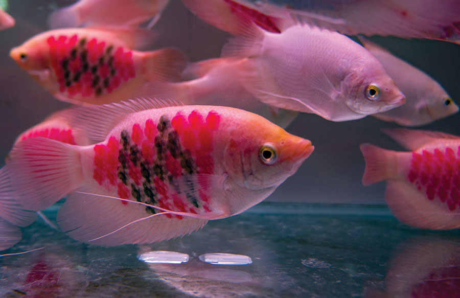 Tattooing words and symbols with needles or lasers injures fish, such as these juvenile giant gouramis (Osphronemus goramy). Photo: O. Lucanus