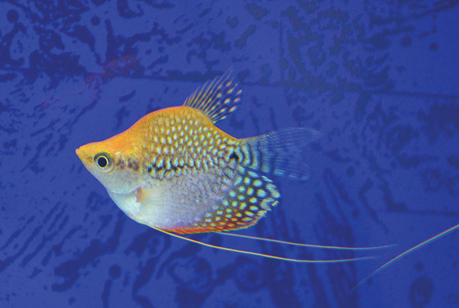 This balloon pearl gourami (Trichopodus leerii), has been selectively bred for its deformed spine. Photo: H.-G. Evers
