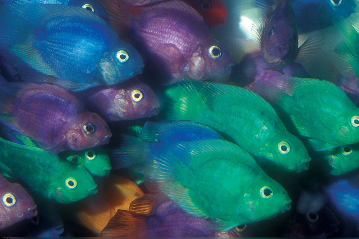 Dyed parrot cichlids have been dipped in a caustic solution to strip their slime coats, then into a dye solution, and fi nally into a chemical that stimulates slime production. Colors are temporary. Photo: O. Lucanus