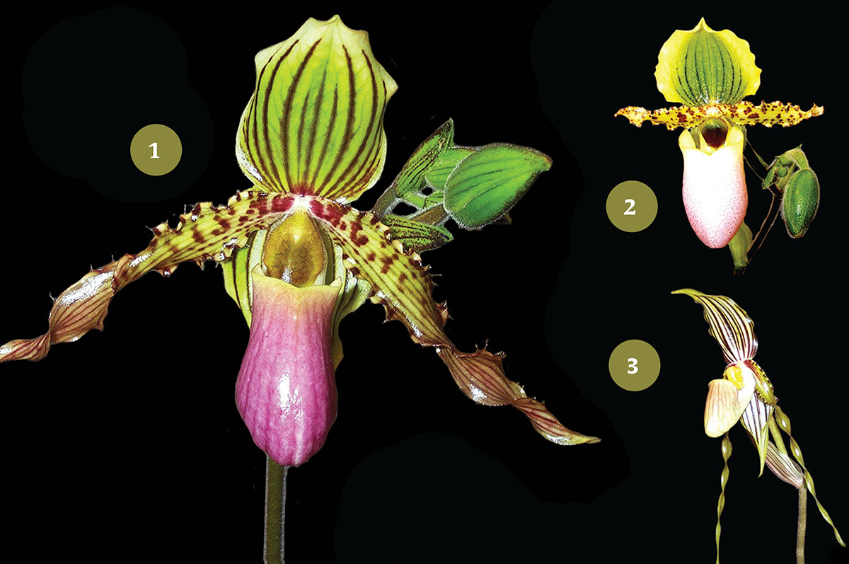 Transparent labeling and hybrid registry in the orchid trade gives breeders and collectors correct and uniform information. Paphiopedilum Coos (1) is a hybrid of P. chamberlainianum (2) x P. praestans (syn. glanduliferum). (3). Photos: M. Pedersen
