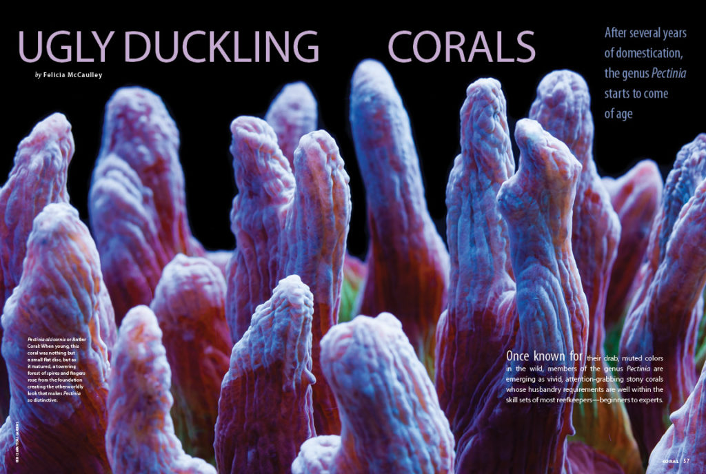 "Once known for their drab, muted colors in the wild, members of the genus Pectinia are emerging as vivid, attention-grabbing stony corals whose husbandry requirements are well within the skill sets of most reefkeepers—beginners to experts. Felicia McCaulley shares the ""Ugly Duckling Corals""."