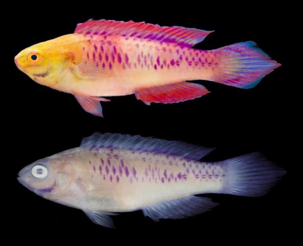 The male holotype for the Vibranium Fairy Wrasse (Cirrhilabrus wakanda), shown freshly euthanized (above) and preserved (below). Image credits: Photograph by H.T. Pinheiro and B. Shepherd (upper) and L.A. Rocha (lower).