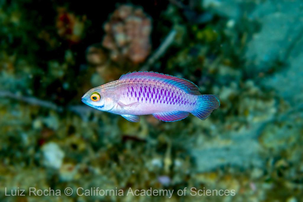 A female Vibrainium Fairy Wrasse, Cirrhilabrus wakanda, at 75 m depth on the reefs off the east coast of Zanzibar, Tanzania, Africa. Image credit: Luiz Rocha © 2018 California Academy of Sciences