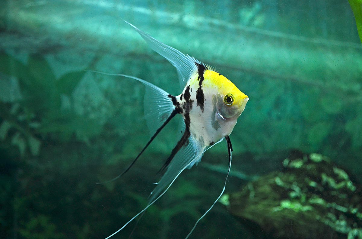 Why is a fish like the Veil Gold Marble Angelfish acceptable, yet a longfin catfish is not? Image credit: Leriaphoto/Shutterstock