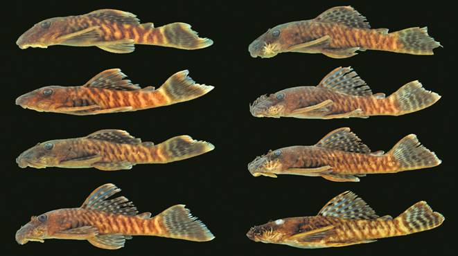 The new pleco species Ancistrus miracollis offers variable color patterning and appears to reach a maximum length of around 2.5 inches (6.7 cm). CC BY, Bifi et. al.