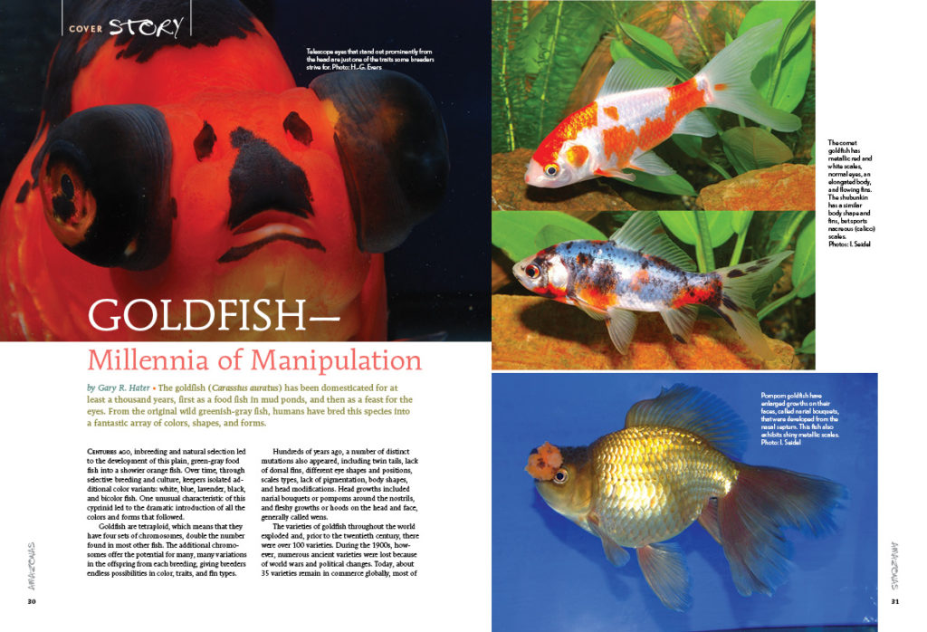 It's important to realize that manipulation of fishes goes back millennia; goldfish expert Gary R. Hater provides an introduction to the history and modern-day selective breeding of Carassius auratus.