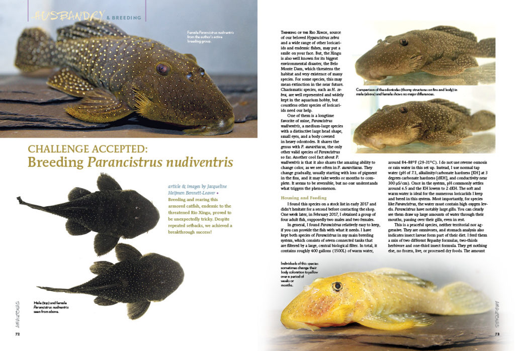 Challenge Accepted: Breeding Parancistrus nudiventris. Dutch pleco breeder Jacqueline Heijmen Bennett-Leaver explains how this breakthrough success was achieved.
