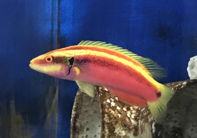 All breeding projects must start with broodstock; here, the rare, deepwater Neon or Sunrise Hogfish, bodianus sanguineus. Image credit: Karen Brittian