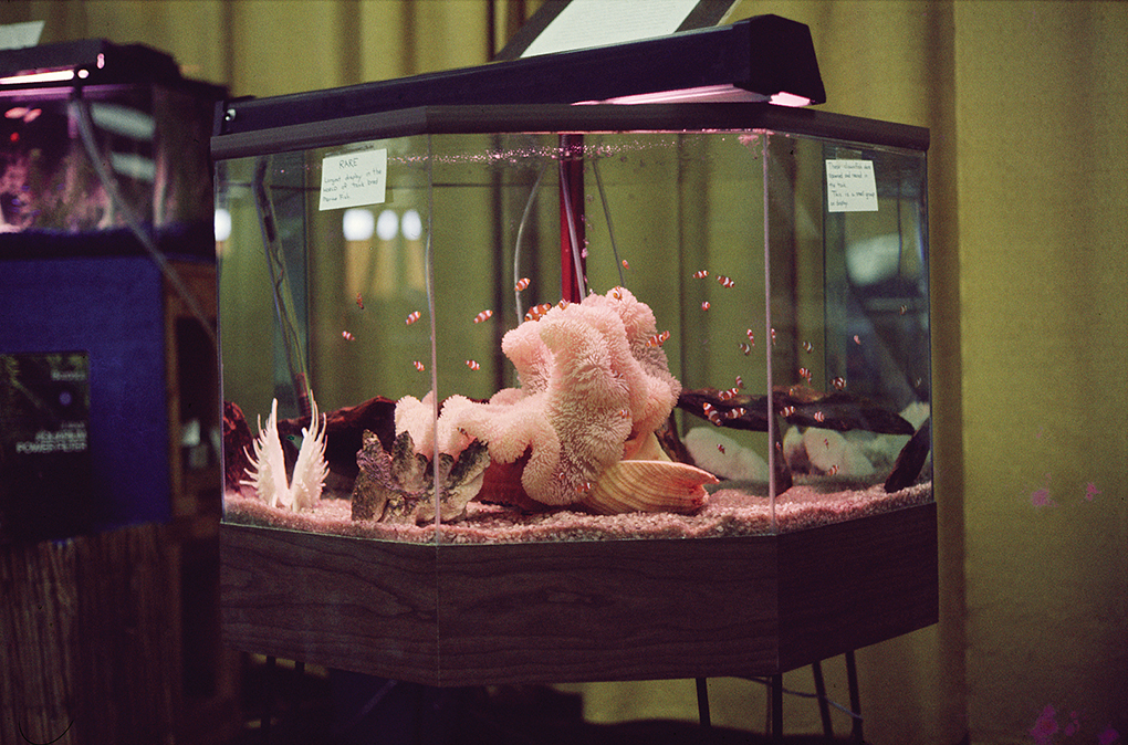 The first tank-bred clownfish, on display 1973.