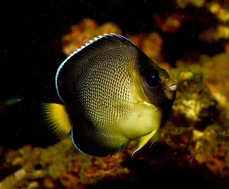 A well-grown captive-bred Cream Angelfish (Apolemichthys xanthurus) produced by Sustainable Aquatics. Image credit: Matt Pedersen