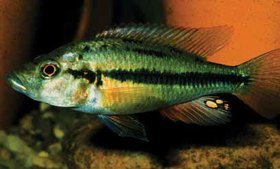 Prognathochromis perrieri: one of many Lake Victoria cichlid species extinct in the wild but kept alive by conservation breeders. Image credit: Paul V. Loiselle