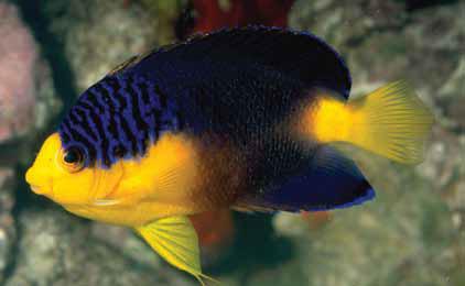 Nahakyi's Pygmy Angelfish, Centropyge nahakyi. Image credit: Scott Michael.