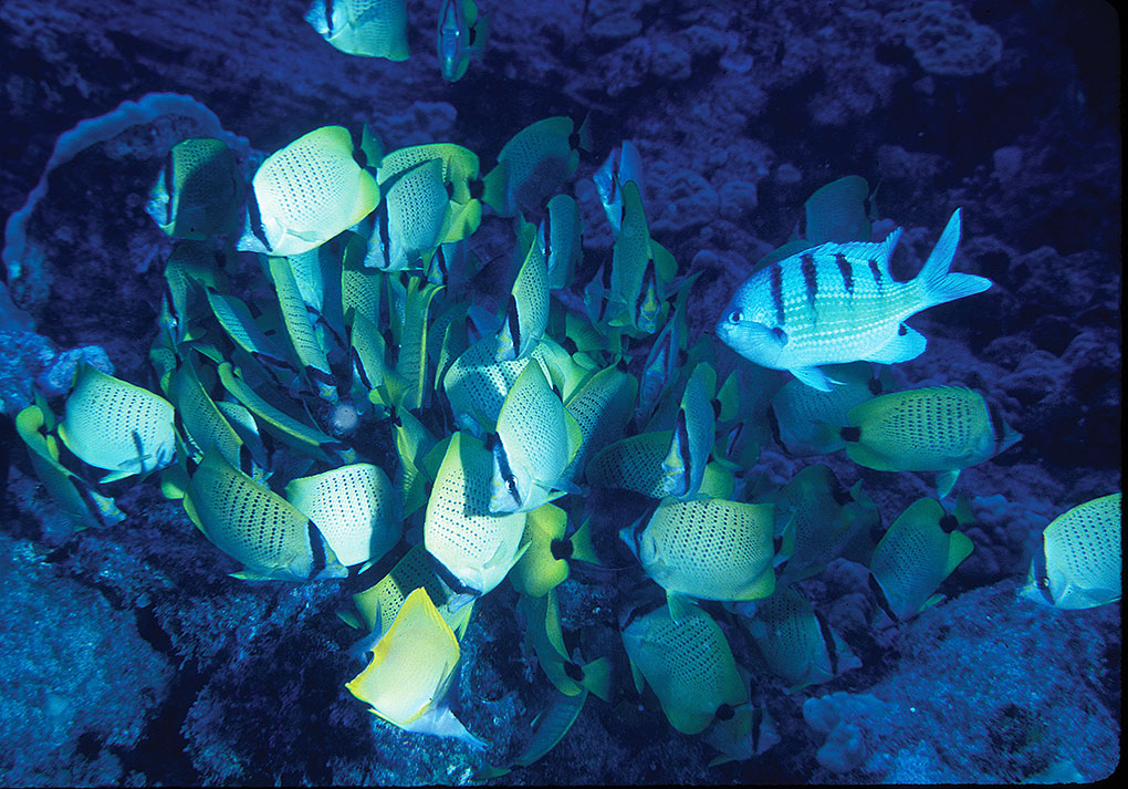 Aggregation of the Milletseed Butterflyfish (Chaetodon miliaris) feeding on benthic ova of the Hawaiian Sergeant (Abudefduf abdominalis). Image: John L. Earle