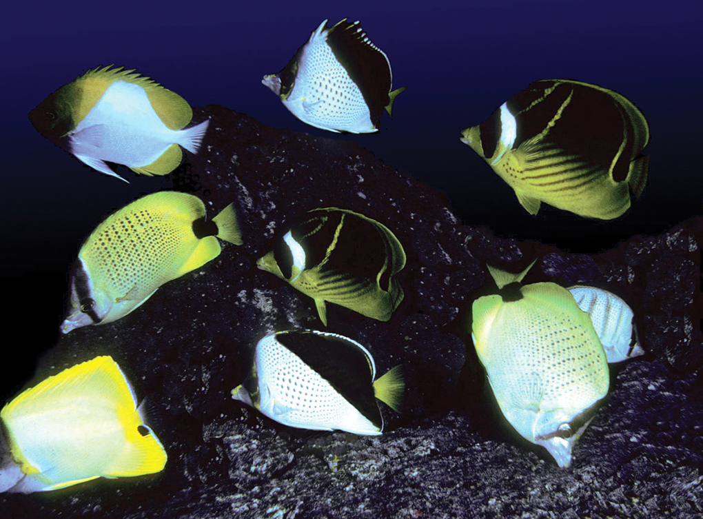 Six species of butterflyfishes feeding on the ova of a damselfish at Kona, Hawai'i, after the guarding parent was driven away. Image: John L. Earle