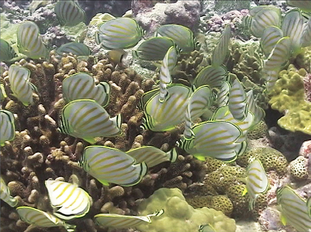 Ornate Butterflyfish (Chaetodon ornatissimus) form a mob to feed in a territory defended by an overwhelmed Blackbar Devil Damselfish (Plectroglyphidodon dickii), Christmas Island, Kiribati. Image: John L. Earle