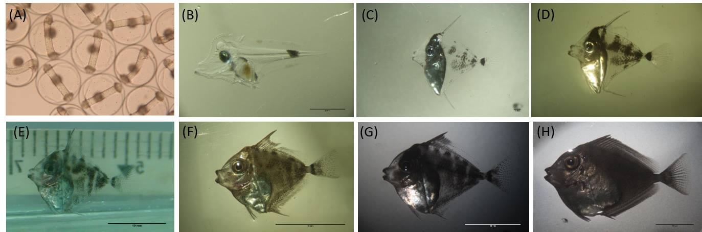 The early life stages of the first captive-bred Vlaming's Tang, Naso vlamingii. (A) fertilized eggs; (B) 15 days post hatching (DPH); (C) 35 DPH; (D) 40 DPH (E) 64 DPH; (F) 65 DPH; (G) 70 DPH; (H) 100 DPH. Image credit: Pei Sheng Chiu