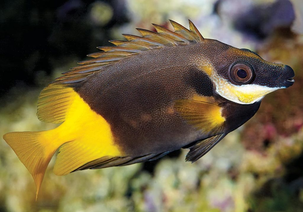 Can you identify this coral reef fish? Image by D. Knop/Koralle.