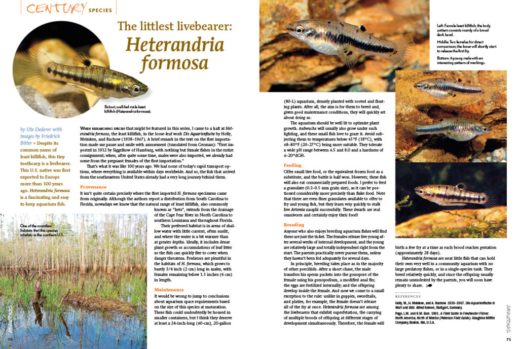 The Least Killifish, Heterandria formosa, has captivated European aquarists for over 100 years now. Learn more about this tiny livebearer in the latest Century Species installment by Ute Dederer and images from Friedrich Bitter.