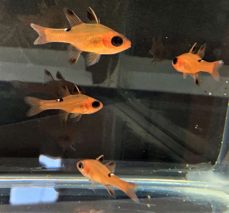 Another look at a small group of Whitestar Cardinalfish collected by Dynasty Marine.