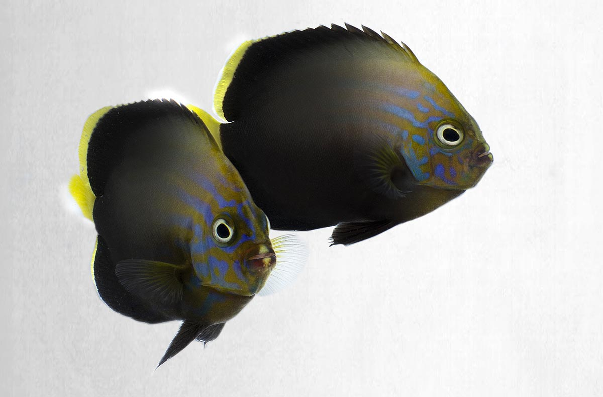 Poma Labs Introduces Blue Phantom Hybrid Angelfish - Reef To Rainforest Media, LLC | CORAL Magazine | Microcosm Publishing