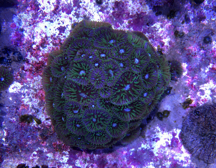 Mother Colony of the Mons Venus Purple Plate Fungia at Coral Morphologic. Note the free-living offspring at far left. Image credit: Colin Foord