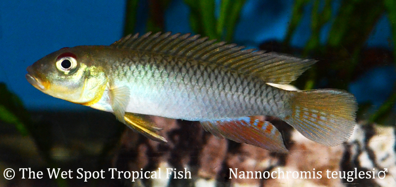 A male Nanochromis teugelsi. Image Credit: The Wet Spot