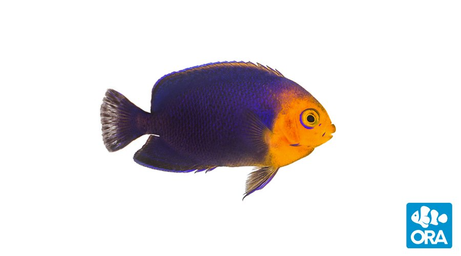 ORA Debuts Aquacultured Angelfishes