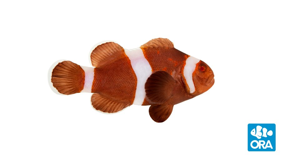 "ORA Zombie Clownfish - Final Form - the ""Living DOA"" of designer clownfish?"