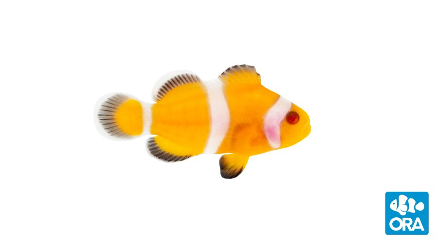 ORA's commercial release of the Zombie Clownfish adds another designer mutation to mainstream availability. This is how they start out, a bright orange juvenile with gleaming red eyes.