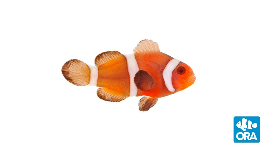 Intermediate coloration of a Zombie Clownfish as the fish starts to mature.