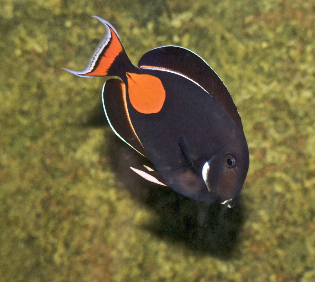 New bag limits are proposed for Hawaii's Achilles Tang in a new Draft Environmental Impact Statement submitted to the state of Hawaii. Image credit: Flickr user Jean / CC BY 2.0