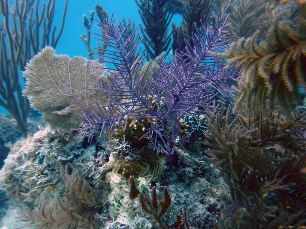 A Florida Keys biotope; the modern reefscape is dominated by numerous photosynthetic octocorals we commonly refer to as gorgonians. Several distinct species are clearly visible in this recent photo taken during a collecting trip by Florida aquarium trade collector Philipp Rauch of KP Aquatics.