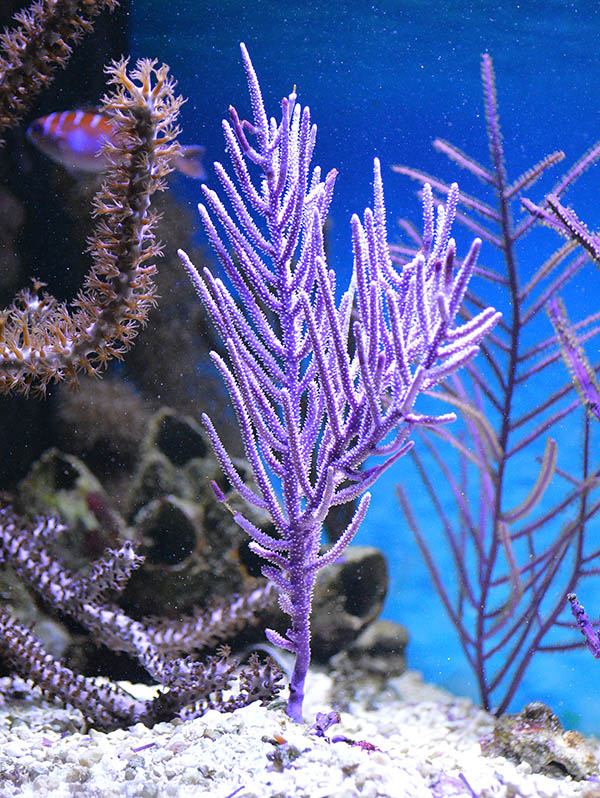 Muriceopsis flavida is readily distinguished from other purple gorgonian varieties when you note that the branches form on all sides, and the individual polyps are also distributed entirely around the cylindrical branches.