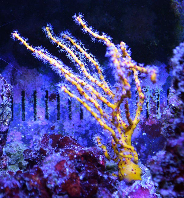 The Yellow Finger Gorgonian is also considered to be Diodogorgia nodulifera, and other than the difference of color requires the same specific flow patterns and heavy feeding if it's to have a chance at long term survival in the aquarium.
