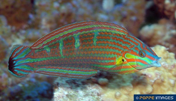 Tiny brown & white juveniles will give rise to stunners like this mature male Melanurus Wrasse. Image courtesy Guido Poppe/Poppe Images.