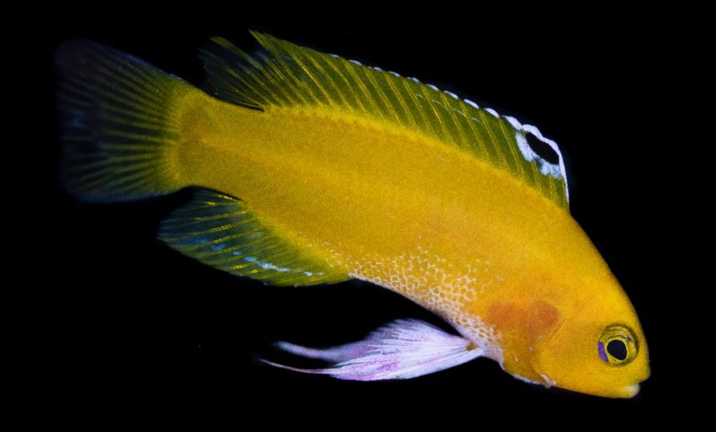 Named the Platinum Dejongi, captive-breeding has produced a variant of this rare species where the normally magenta markings on the fins are replaced with near-white coloration.