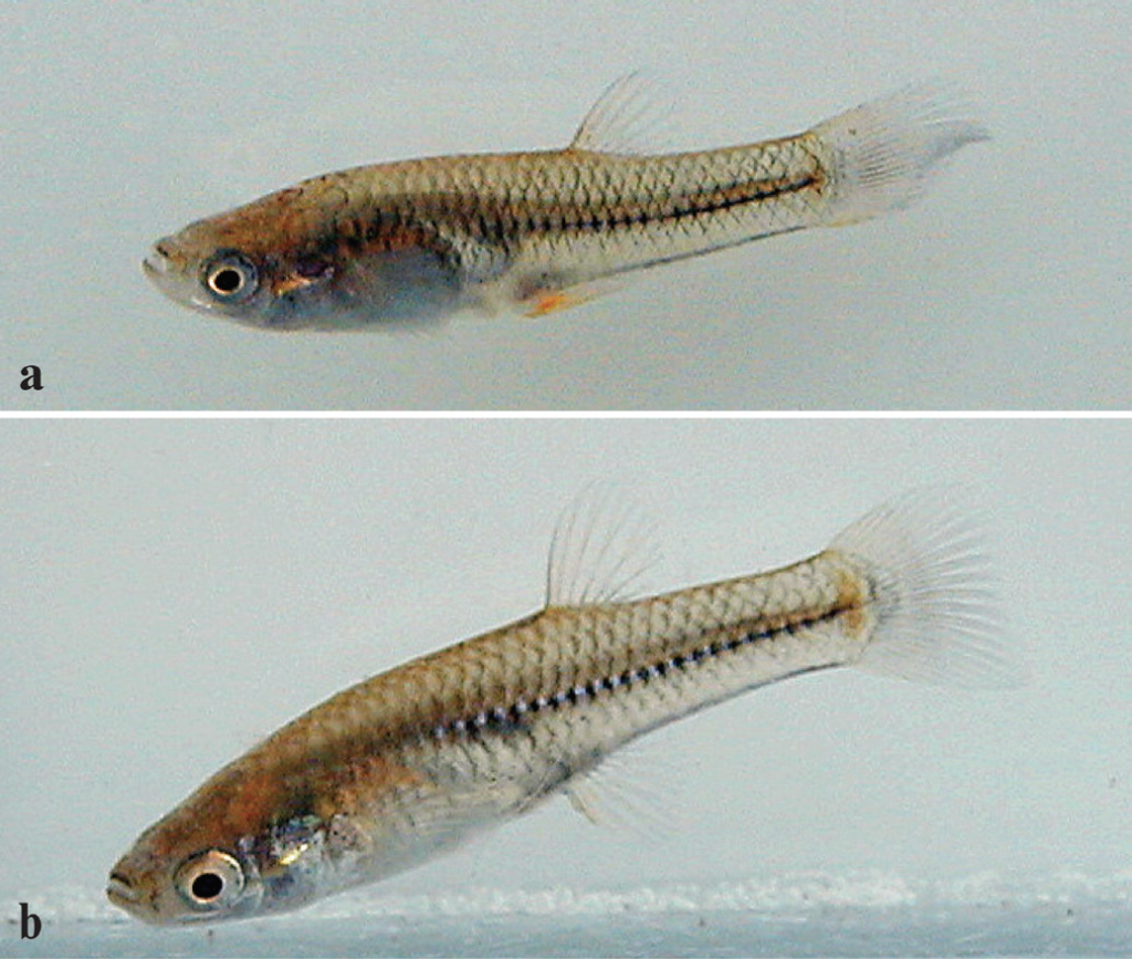 Male (a) and female (b) Río Concepción topminnow, <em>Poeciliopsis jackschultzi,</em> paratype specimens published in Conway, Mateo, and Vrijenhoek 2019.