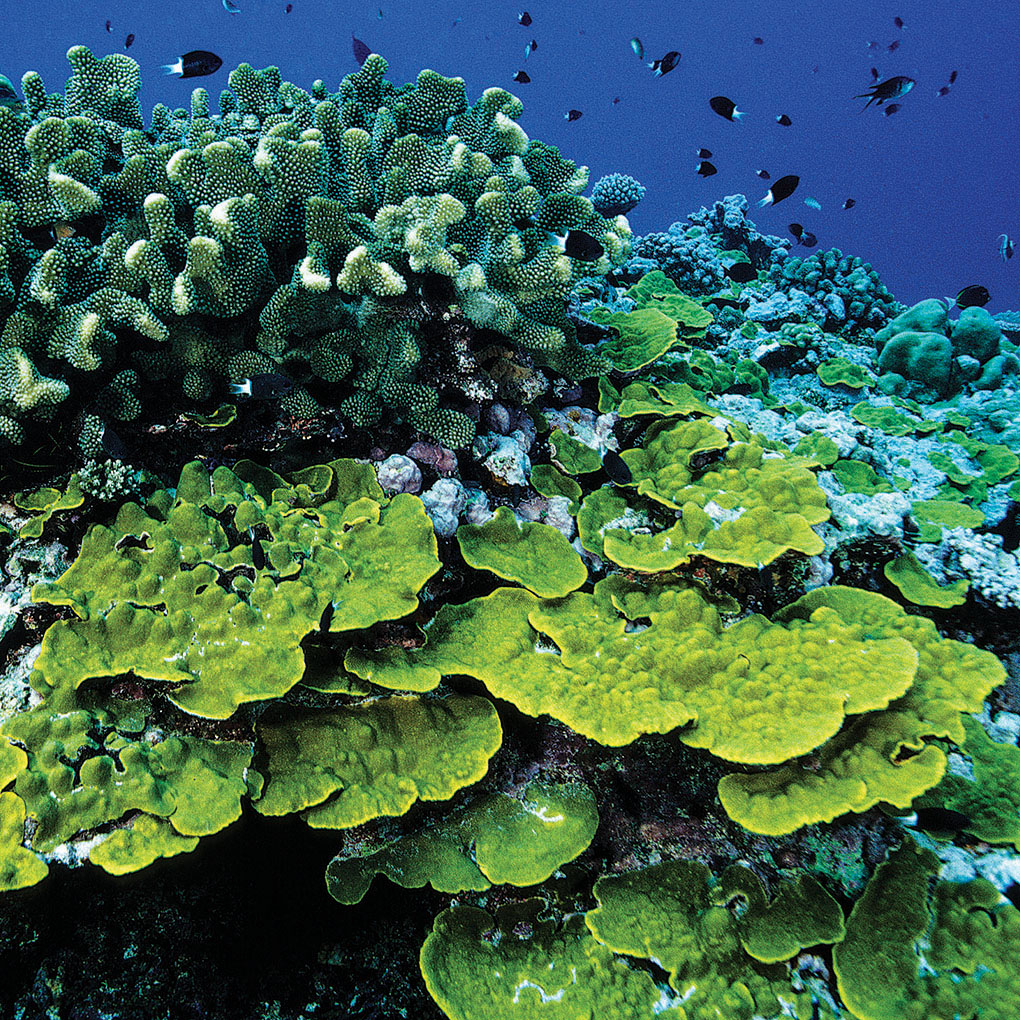 South Pacific reefscape with vibrant stony coral growth of Pocillopora, Montipora, Porites, Acropora, Turbinaria, and other species. Image: Bismarck Sea, Papua New Guinea | Denise Nielsen Tackett