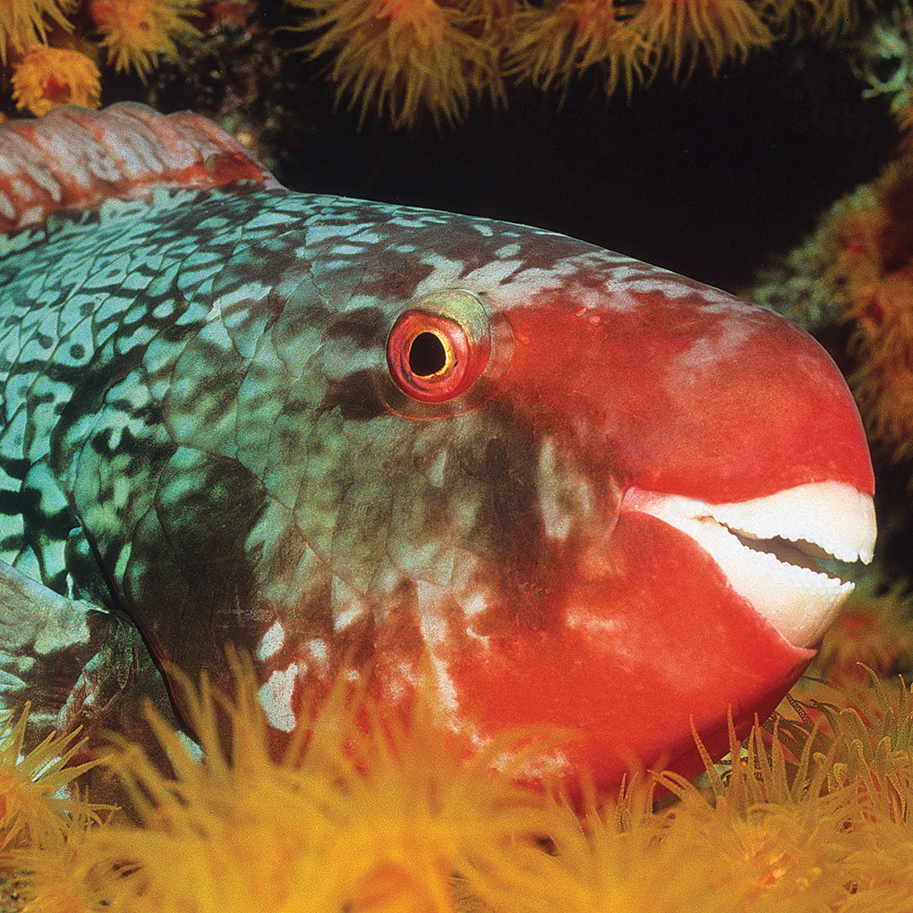 Ember or Redlip Parrotfish, <em>Scarus rubroviolaceus</em>, resting on an Indian Ocean reef at night. Image: Maldive Islands | Larry P. Tackett