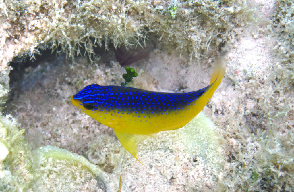 Such a stunner, but never really in the aquarium trade these days: The Beau Gregory, Stegastes leucostictus, a juvenile, photographed near a small patch reef just west of Cut Cay, eastern Graham's Harbour, northeastern San Salvador Island, eastern Bahamas. Image Credit: James St. John, CC BY 2.0.