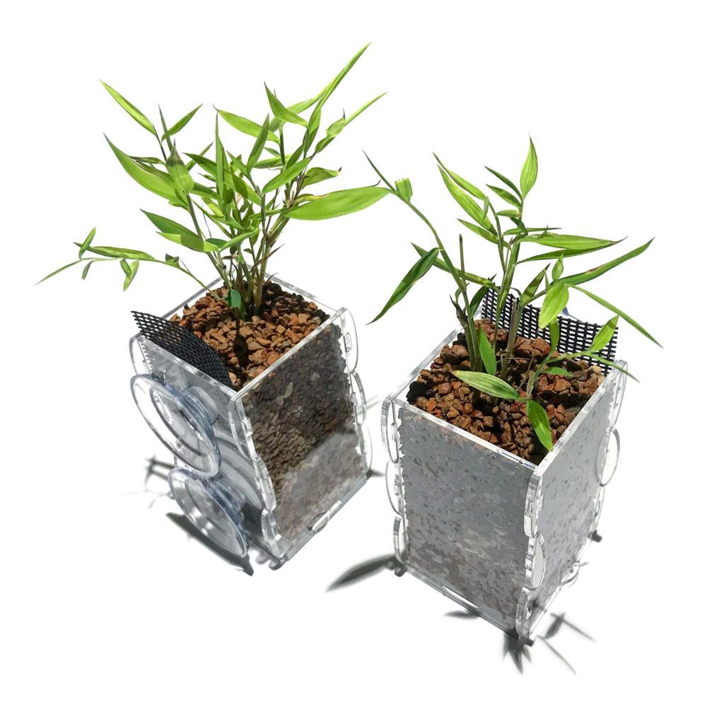 A pair of Baby Panda Bamboo (Pogonatherum sp.) divisions planted into riparium planters.