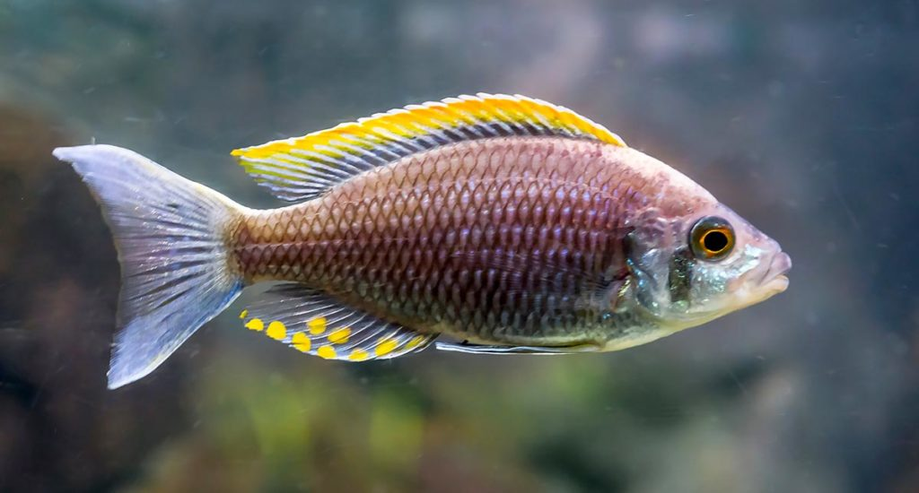 Copadichromis sp. 'Firecrest Mloto' is believed to be extinct in the wild, a species surviving only in the aquarium trade, however as an undescribed species it has yet to be evaluated by the IUCN. Image credit: Charlotte Bleijenberg/Shutterstock