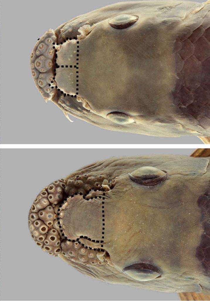 <em>Garra surinbinnani</em> (top) has a bilobed proboscis, whereas <em>G. fuliginosa</em> has a trilobed proboscis. Image from Page et al 2019.