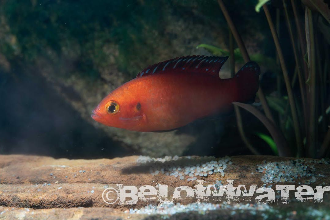 The female Hemichromis exsul tends a clutch; watch the videos to see their broodcare behavior.