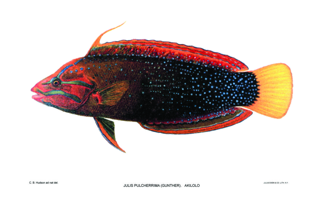 The adult Red Coris Wrasse, Coris gaimard. Vintage illustration by David Starr Jordan & B.W. Evermann from Shore Fishes of the Hawaiian islands, 1905-1906.