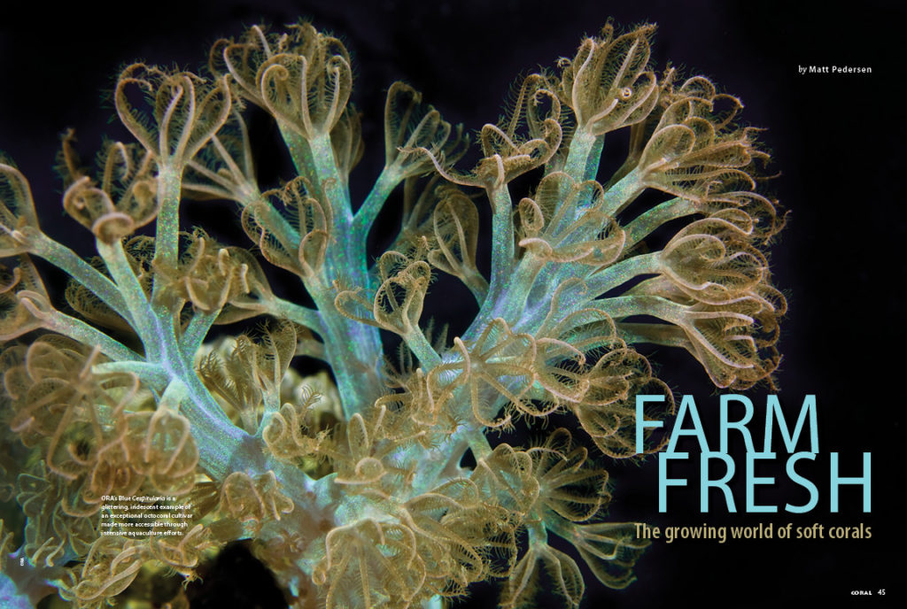 Fresh from ocean farms and land-based coral aquaculture systems, commercial-scale production of soft corals ensures a steady supply of easy to keep and rare, colorful varieties. Matt Pedersen reports back from coral farmers around the globe, sharing their insights into what's being produced and the challenges being faced.