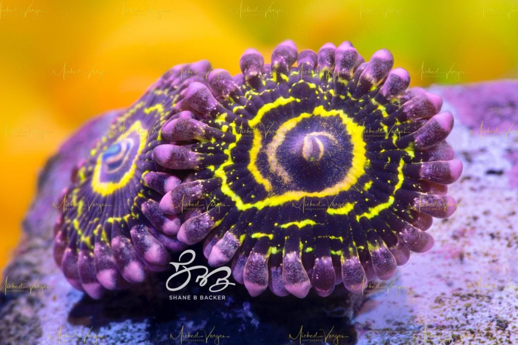 Stratosphere Zoanthid: A high resolution watermarked version of the printed image, shared so you can see the detail captured by CORAL photographer Michael Vargas. The original image is more than double this size still!