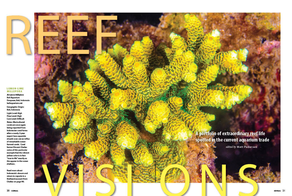 REEF VISIONS: A portfolio of extraordinary reef life spotted in the current aquarium trade. A stunning maricutlured Lemon-Lime Acropora millepora from Bali Aquarium, photographed by Vincent Chalias, ushers in the return of Indonesian corals and leads off this issue's highlights.