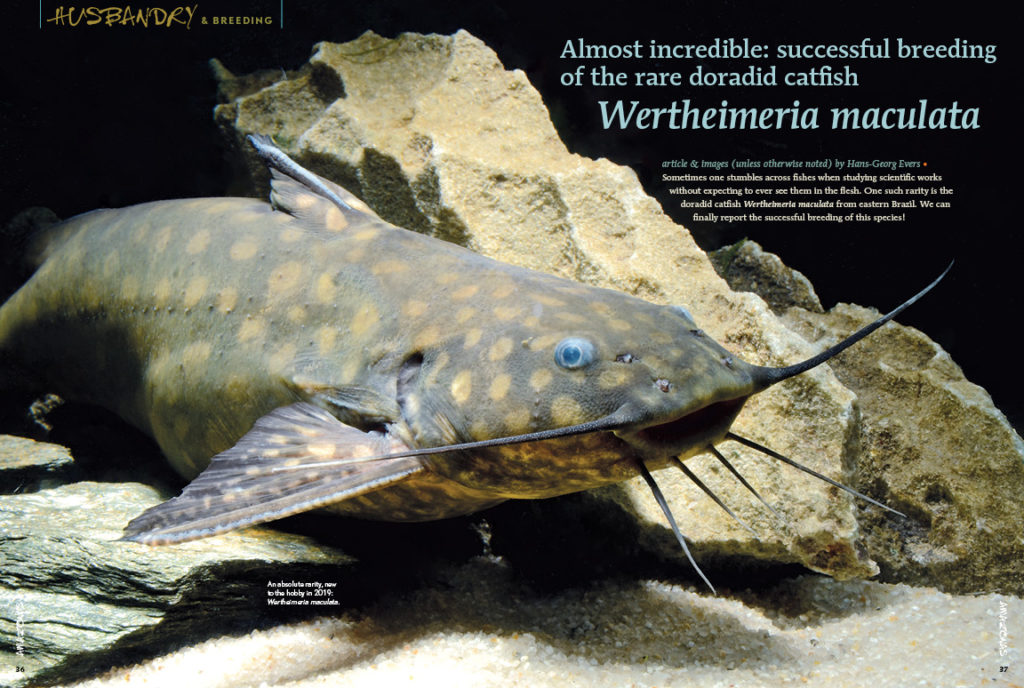 Almost incredible: successful breeding of the rare doradid catfish Wertheimeria maculata, as reported by Hans-Georg Evers and accomplished by the team at Piscicultura Tanganyika in Aquiraz, Brazil.