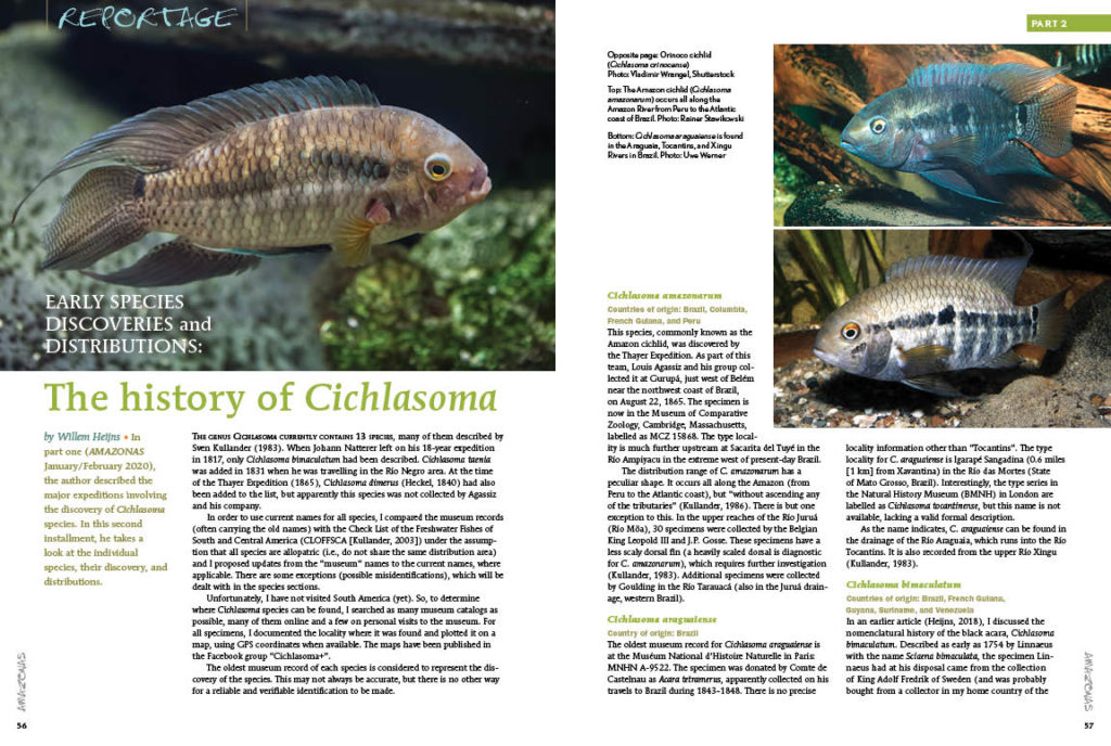 Continued from Part 1, Willem Heijns reveals the hidden backstories of each unique species in a history of the genus Cichlasoma.